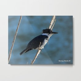 Male Belted Kingfisher Metal Print