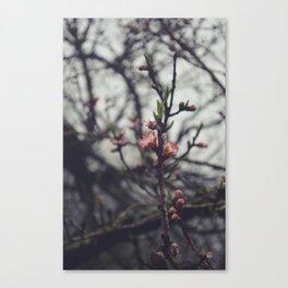 Peach Blossoms II Canvas Print