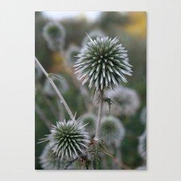 Macro Seed Head of Round Headed Garlic  Canvas Print
