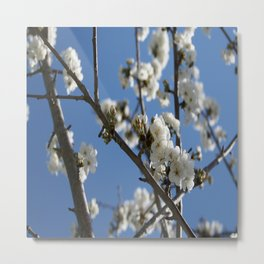 Cherry Blossom Branches Against Blue Sky Metal Print