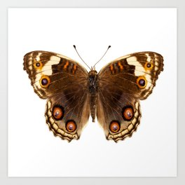 "Butterfly species Junonia orithya ""Eyed Pansy"" Art Print"