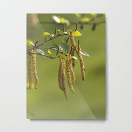 Catkins in the sunlight Metal Print