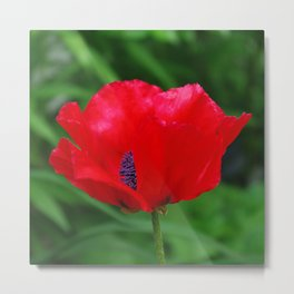 Red oriental poppy flower Metal Print