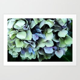 green and blue hydrangea Art Print