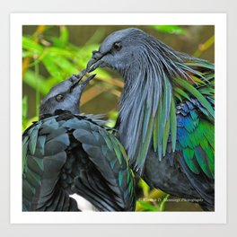 Nicobar Pigeon Art Print