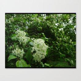 Viburnum in Rain Canvas Print