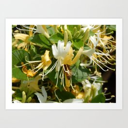 Honeysuckle Bee Art Print