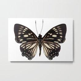 "Butterfly species Euripus nyctelius euploeoides ""Courtesan butterfly"" Metal Print"