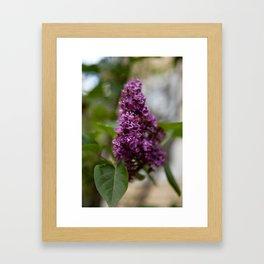 Fresh Purple Lilac Framed Art Print