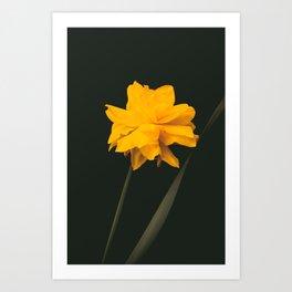 Elegant gold on black old-master botancial print style:  Double Daffodil photograph Art Print
