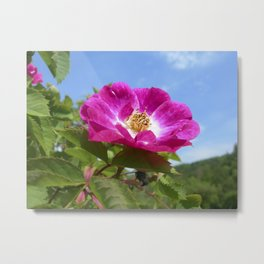 wild rose bloom III Metal Print
