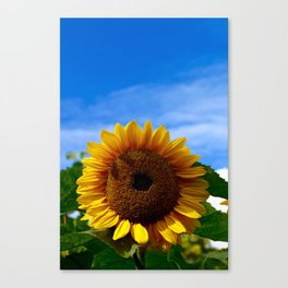 Sunflower at Wisley Canvas Print