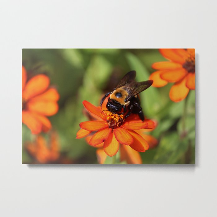 Bumblebee On Zinnia Metal Print