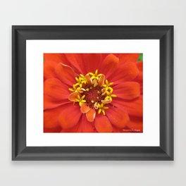 Tangerine Zinnia Flower Framed Art Print