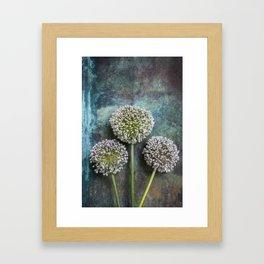Three Allium Flowers Framed Art Print