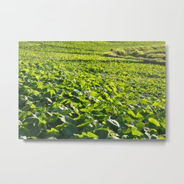 Taro plantation Metal Print