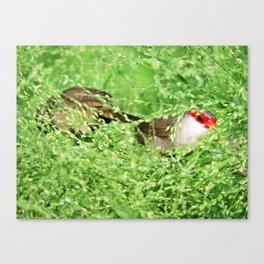 Common Waxbill Canvas Print