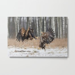 White-Tailed Eagle fight Metal Print