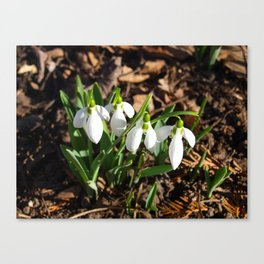Snowdrops in the garden sunshine Canvas Print