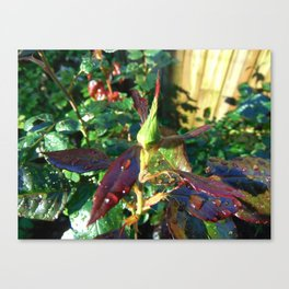 Tight in the Bud Canvas Print