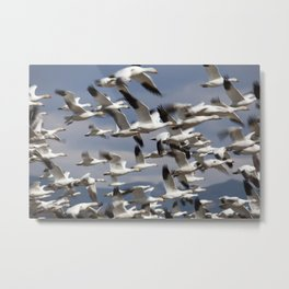 Snow Geese Taking Flight Metal Print