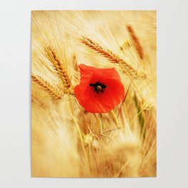Poppies in the cornfield Poster