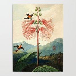Large flowering sensitive plant. Poster