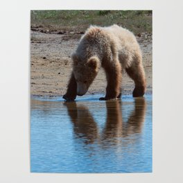 Grizzly Cub Drinking from Stream  Alaska Katmai National Park #Socety6 Poster
