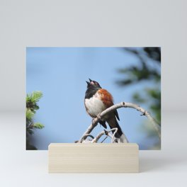Spotted Towhee Sings Mini Art Print