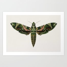 Oleander hawk-moth (daphnis nerii) illustrated by Charles Dessalines D' Orbigny (1806-1876). Art Print