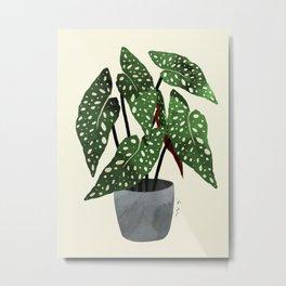begonia maculata interior plant Metal Print