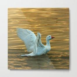 White duck on golden pond Metal Print