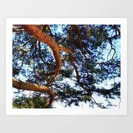Long Pine Branches Art Print