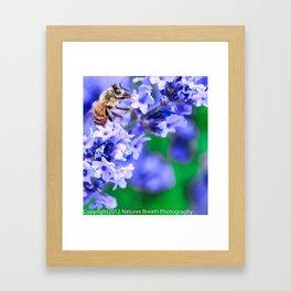 Honey Bee on Lavender Framed Art Print