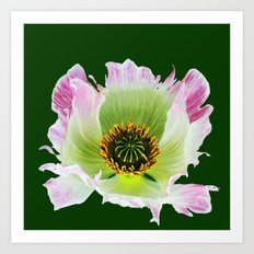 Papaver Somniferum Art Print