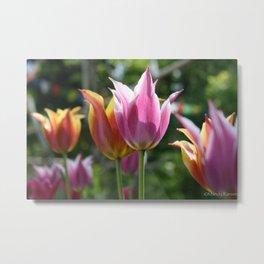 Field of Tulips by Mandy Ramsey, Haines, Alaska Metal Print