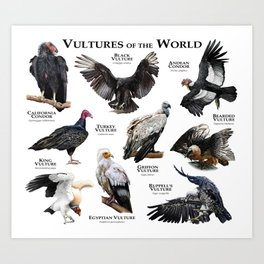 Vultures of the World Art Print