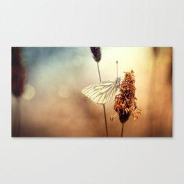 A Green-veined White (Pieris napi)...  Canvas Print
