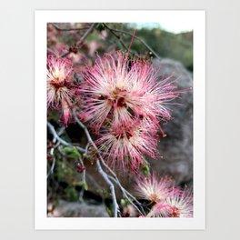 Fairy Duster Desert Blooms Art Print