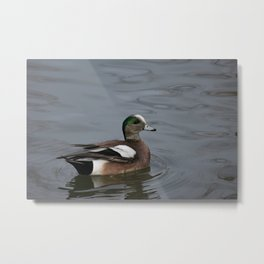 American Wigeon - Male Duck Metal Print