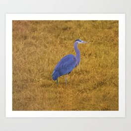 Great Blue Heron in the Grass Art Print