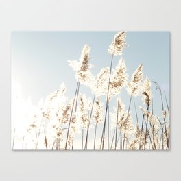 Reed in the sunlight Canvas Print