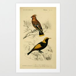 D'Orbigny - Universal Dictionary of Natural History; Birds (1849): 2D Waxwing & Bowerbird Art Print