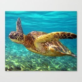 Green Sea Turtle swimming in Hawaii Canvas Print