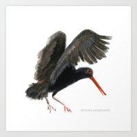 Black Oystercatcher Art Print