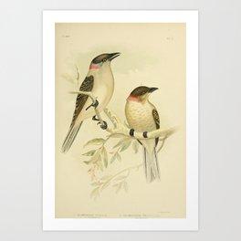Great Bower bird Spotted Bower bird4 Art Print