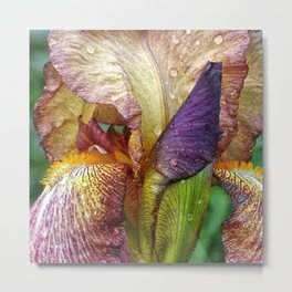 Iris With Raindrops Metal Print