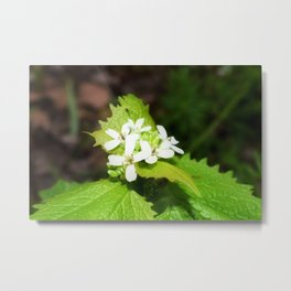 Garlic Mustard 2 Metal Print