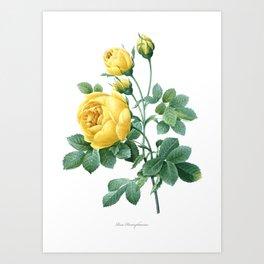 Vintage print,botanical poster of Rose Sulphur Art Print
