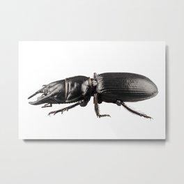 beetle species Lucanus cervus Metal Print